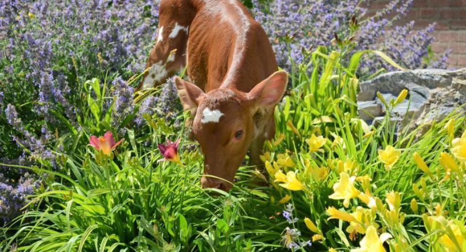 Paradise Grove Calf